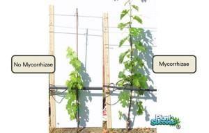 mikoriza2